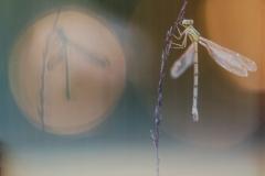 Libelle 75 x 100 cm